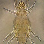 """Pyemotes ventricosus: un acaro associato al """" tarlo del legno"""", parassita occasionale dell'uomo"""