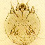 Osservazioni sulla capacità di penetrazione cutanea nell'uomo diSarcoptes scabiei var. caniseS. scabiei var. hominisin differente stadio evolutivo